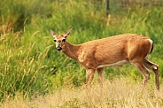 Female White Tailed Deer