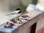 Black-Capped Chickadee with Cranberries