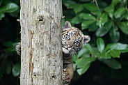 Ok you found me...Sumatran Tiger Cub