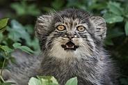 Pallas cat kitten