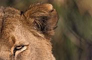 Lioness Close Up Eye and Ear