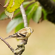 American Goldfinch in Winter colours