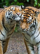 Pair of Amur Tigers