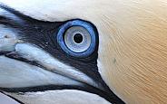 Gannet Close up