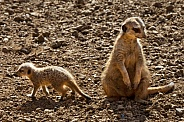 Mother and Baby Meerkat - Kalahari Desert