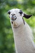 Llama (Lama Glama)