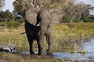 African Elephant - Okavango Delta - Botswana