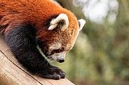 Red Panda Climbing Downwards