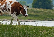 Dutch red Holstein cow