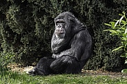 Chimpanzee Full Body Sitting Relaxing