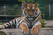 Amur Tiger Lying Down Head Up Facing Camera