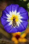 Morning Glory Flower with a Hoverfly feeding