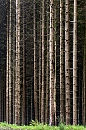 Forest of pine trees -Scotland