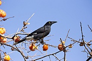 Black Currawong (wild).