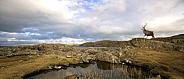 Red Deer Stag - Isle of Skye - Scotland