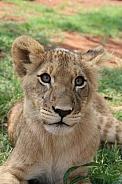 Lion Cub Portrait