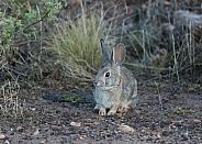 Audubon's cottontail, Sylvilagus audubonii, Leporidae, desert cottontail rabbit