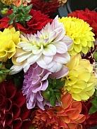 Colourful flowers - Dahlia