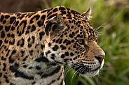 Jaguar Side Profile Close Up