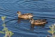 American wigeon Females