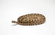 Santa Catalina Rattlesnake on White Background Crotalus catalinensis