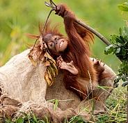 Baby Sumatran Orangutan Swinging