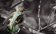 Hummingbird - Fledgling