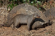 Banded Mongoose (Mungos mungo)