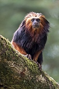 Golden-headed lion tamarin (Leontopithecus chrysomelas)