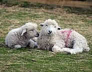 lambs resting