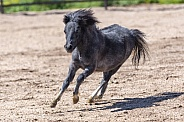 Miniature horse running around the arena