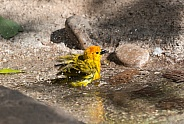 Taveta Golden Weaver Taking a Bath