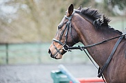 Cantering warmblood