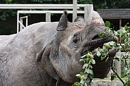 Greater One-Horned Rhino feeding