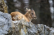 Young Ibex