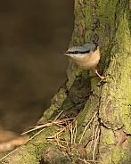 Eurasian Nuthatch on Tree Trunk