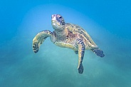 Green Sea Turtle (wild)