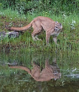 Mountain Lion, or  cougar, puma, panther, and catamount