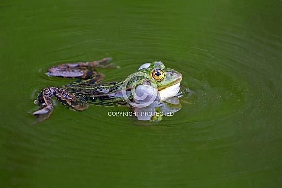 True frog
