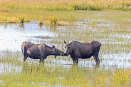 A Cow & Young Moose in Alaska