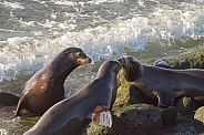 Sea Lions - Meet and Greet