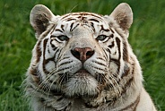 White tiger close up
