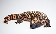 Gila Monster with toungue out