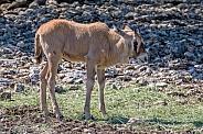 Gemsbok Calf