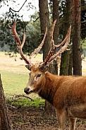 Père David's deer (Elaphurus davidianus) Shedding