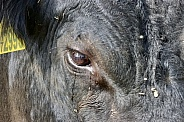 Bull eye close up