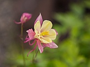 A Single Columbine Growing in Alaska