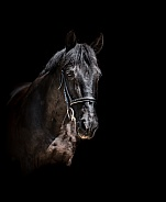 Black Anglo Arab Horse