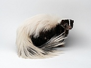 Striped Skunk on White Background