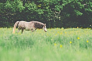 Dapple Grey Welsh Pony